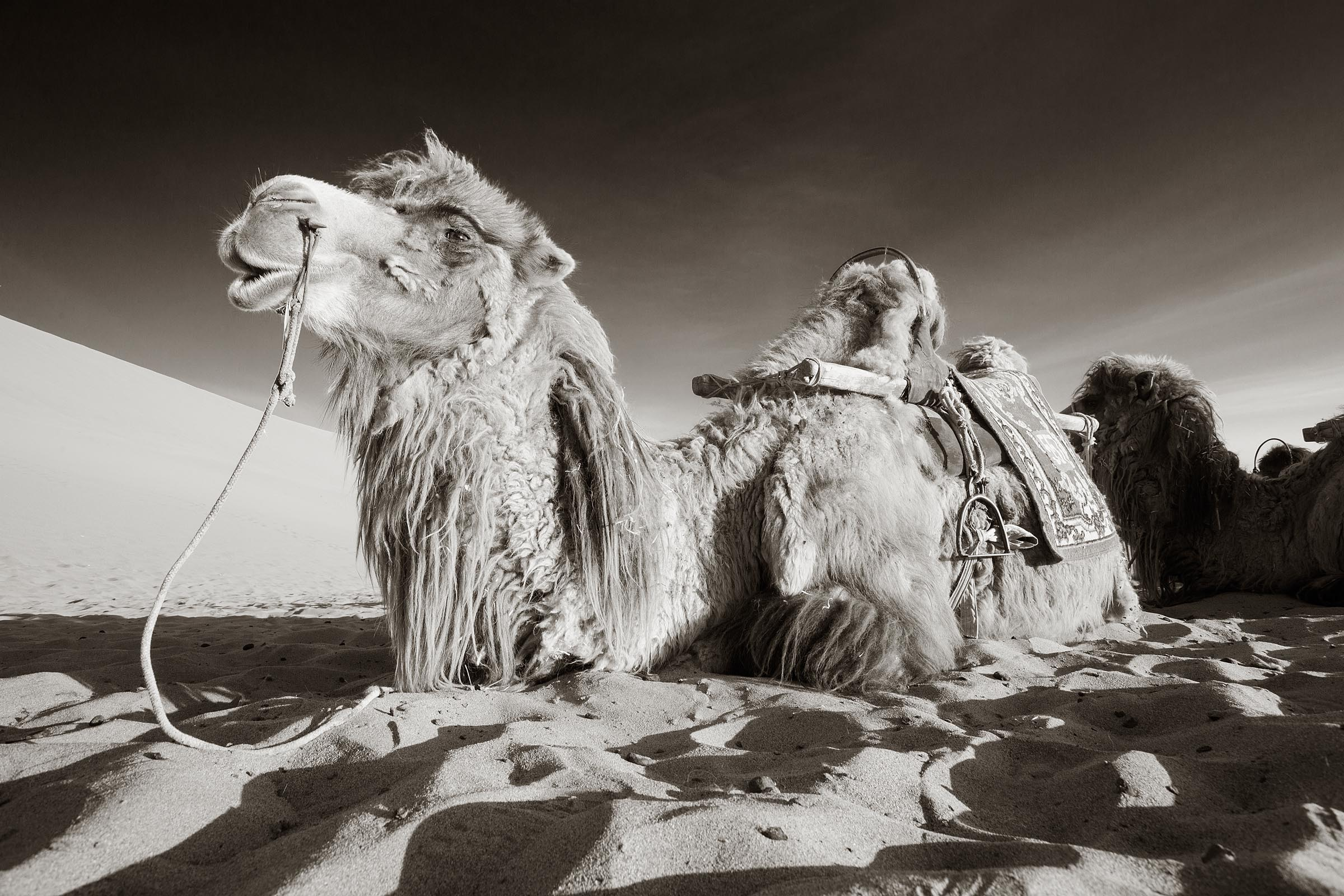 Portrait of a camel as he waits for his client to return from climbing the sand dune.